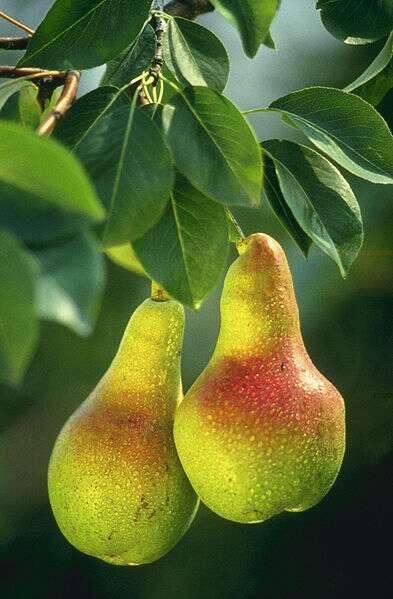 La poire est un fruit peu calorique à consommer à partir de la fin de l'été. © DR