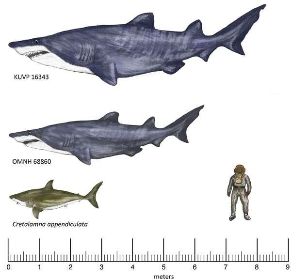 Les deux requins géants trouvés au Kansas dans les formations Duck Creek et Kiowa Shale. KUVP 16343 et OMNH 68860, connus par des vertèbres, sont représentés avec la forme de Leptostyrax macrorhiza, ce qui n'est qu'une hypothèse. Leur taille est la borne inférieure de l'estimation. Cretalamna appendiculata, une espèce éteinte, vivait également au Crétacé. © Joseph A. Frederickson et al., PLos One
