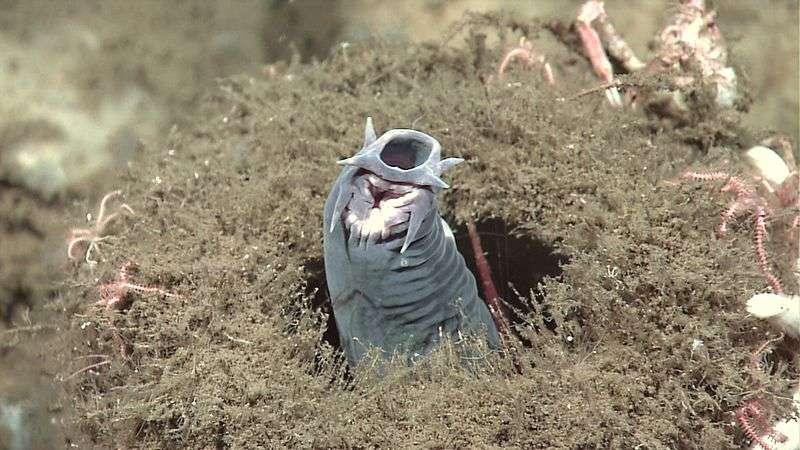 La bouche des myxines est entourée de six tentacules, et renferme plusieurs plaques dentigères. Certaines espèces, comme Eptatretus stoutii, mesurent jusqu'à 60 cm de long. © NOAA, DP