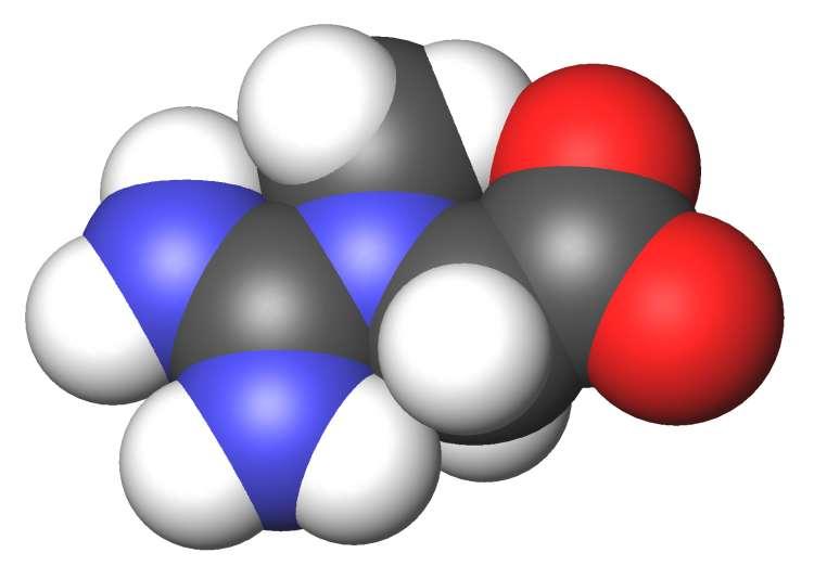 La molécule de créatine est azotée. © Sbrools, Wikimedia Commons, CC by-sa 3.0