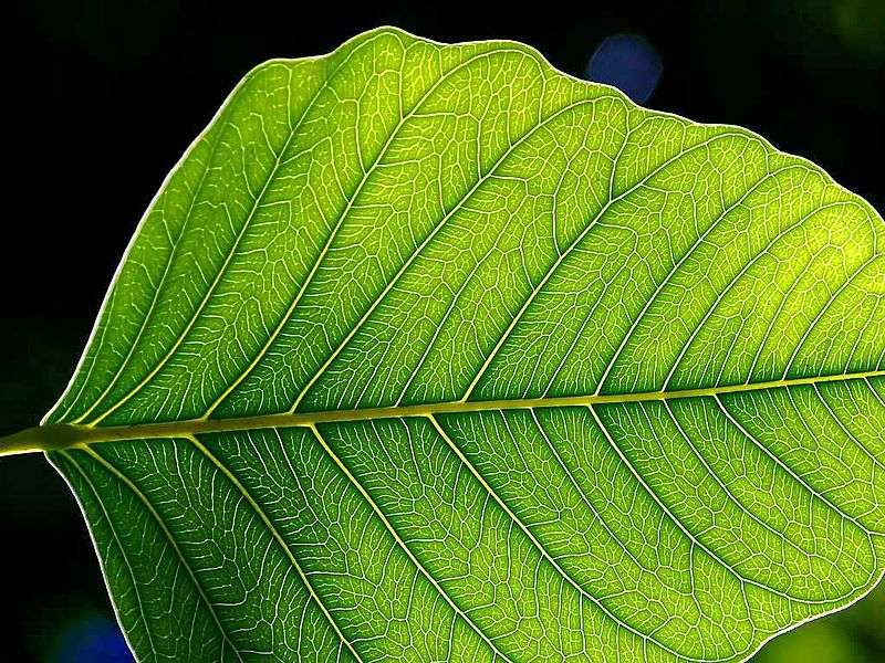 La feuille des spermatophytes permet l'échange gazeux nécessaire à la photosynthèse puis la réaction de réduction du carbone d'une forme minérale vers une forme organique. Elle devient ainsi un producteur primaire de matière organique, que les animaux vont ensuite exploiter. © Jon Sullivan, Wikipédia, DP