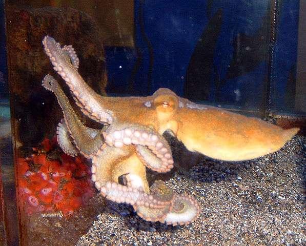 Comme son nom l'indique, la pieuvre à deux points de Californie vit en partie dans l'est du Pacifique, de la Californie aux côtes du Mexique. Elle tire aussi son nom des faux yeux situés sous chaque œil. © Jeremyse, Wikimedia Commons, DP