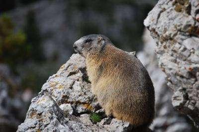 La marmotte des Alpes (Marmota marmota) se répand dans les Pyrénées catalanes. © Maximilian Naar