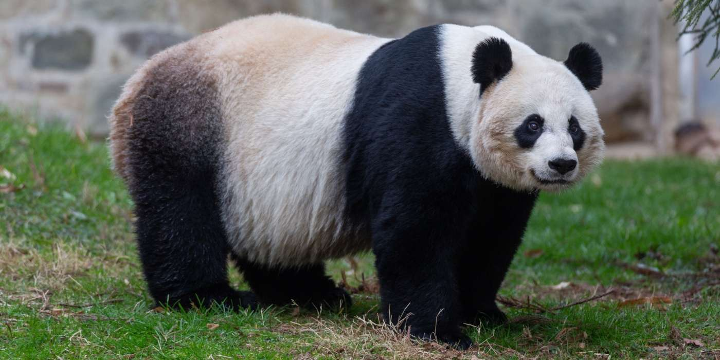 Mei Xiang avant son accouchement. © Smithsonian's National Zoo and Conservation Biology Institut