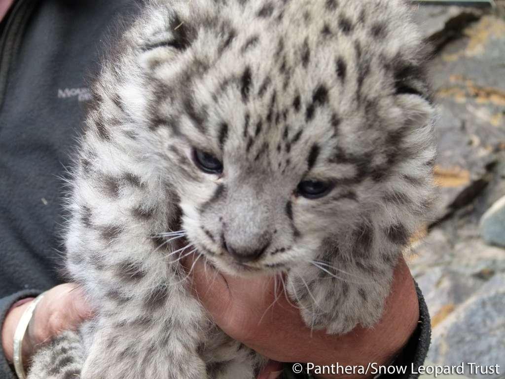 Les jeunes bébés léopards des neiges naissent aveugles. Leurs yeux s'ouvrent au bout de 7 à 9 jours. Ils sont allaités durant 2 mois avant de pouvoir manger de la viande... du moins dans les zoos. © Panthera et Snow Leopard Trust