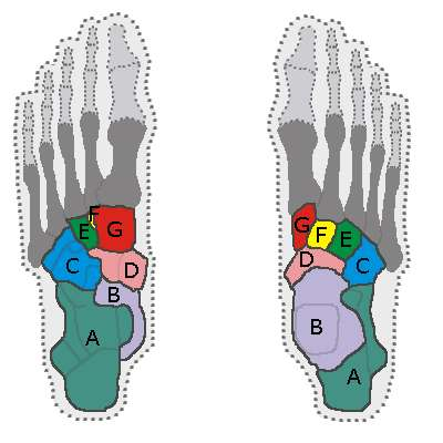 Les sept os du tarse, vu d'au-dessous (gauche) ou d'au-dessus (droite) : A=calcanéus ; B=talus ; C=cuboïde ; D=os naviculaire ; E=cunéiforme latéral ; F=cunéiforme intermédiaire ; G=cunéiforme médian. © Tubantia, Wikimedia, CC by-sa 3.0