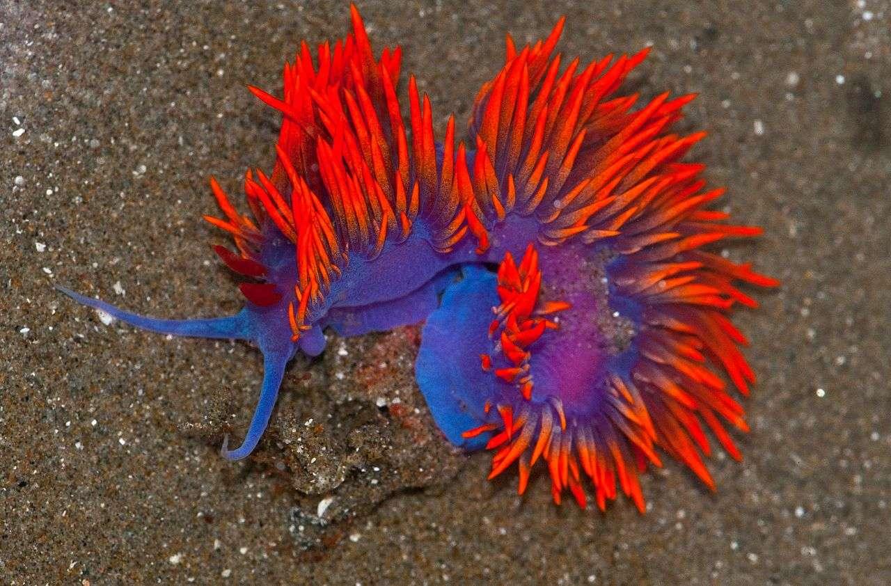 Les nudibranches, ou limaces de mer, constituent un ordre de mollusques gastéropodes marins particulièrement beaux. Ici, Flabellina iodinea. © Jerry Kirkhart, Wikimédia Commons, CC by-sa 2.0