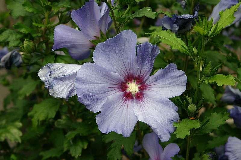 L'hibiscus bleu s'épanouit dans une terre poreuse. Crédits : Céréales Killer - Wikipedia