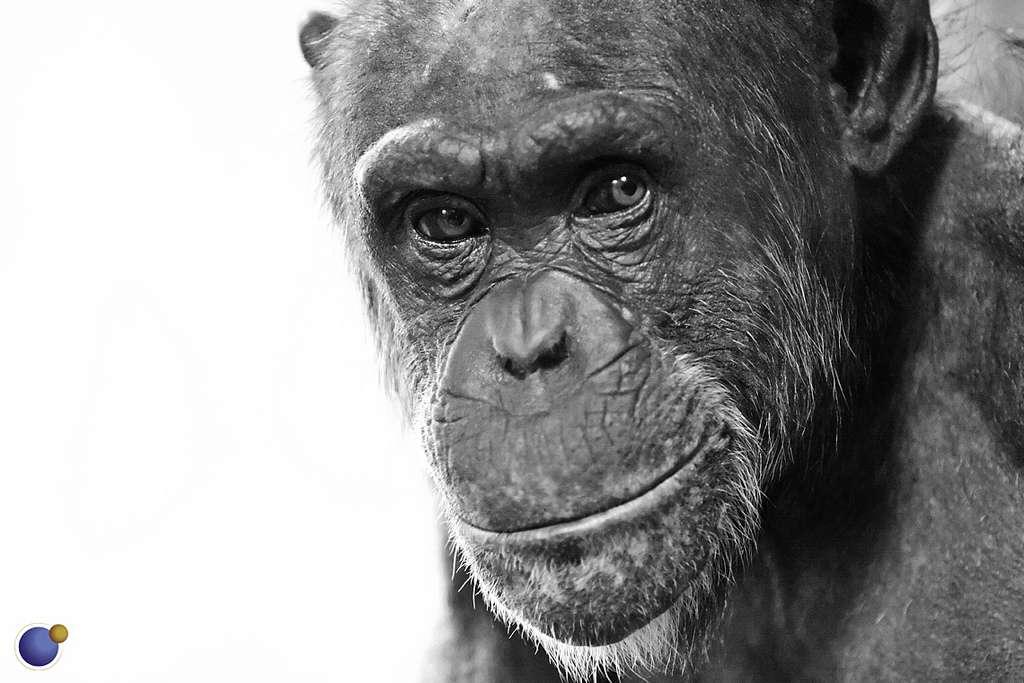 Mais où donc s'arrêtent les capacités cognitives des chimpanzés ? Plus on les étudie et plus ils nous surprennent. © Convex Creative, Flickr, cc by 2.0
