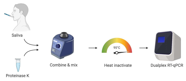 Les différentes étapes du test SaliveDirect. De la protéine K est ajoutée à l'échantillon de salive pour digérer les protéines en gardant intact l'ARN du coronavirus, puis l'échantillon est chauffé à 95 °C et enfin la RT-PCR. © Chantal B.F. Vogels et al. medRxiv