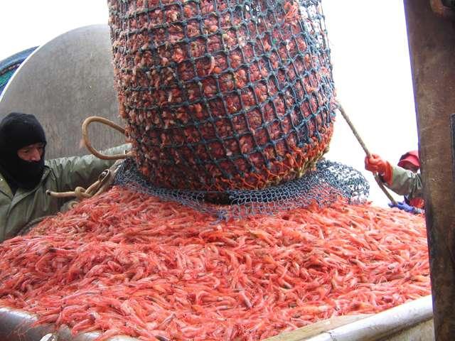 La crevette nordique du Canada (Pandalus borealis) se pêche dans le Maine et sur toute la côte est du Canada. C'est l'espèce la plus consommée sur la côte. © NOAA