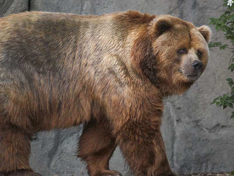 Photo d'un ours Kodiak. © S. Taheri, GNU Free Documentation License, version 1.2