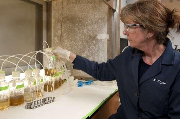 La chercheuse Kathryn Coyne stimule la croissance des algues Heterosigma akashiwo avec du dioxyde de carbone et du monoxyde d'azote, principaux gaz émis par la combustion industrielle. Ces microalgues pourraient être les meilleures candidates pour produire du biocarburant à partir de la pollution industrielle. © Université du Delaware