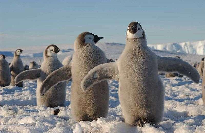 Des manchots empereurs (souvent malencontreusement baptisés pingouins), ici en bas âge. © Hannes Grobe/AWI, Wikipédia, cc by 3.0