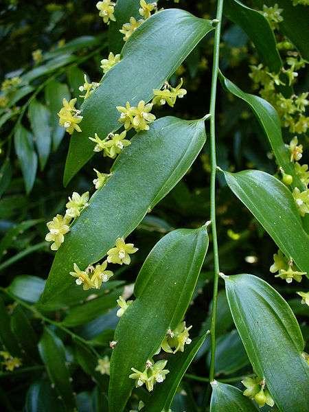 Ce qui semble être les feuilles de ce Semele androgyna sont en réalité des rameaux. Un indice permet d'en être sûr : seules les branches portent des fleurs, jamais les feuilles ! © Scott Zona, Wikimédia CC by 2.0