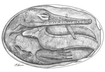 Reconstitution de l'embryon de mésosaure du Permien inférieur issu de la formation de Mangrullo en Uruguay dans un œuf. © Gustavo Lecuona