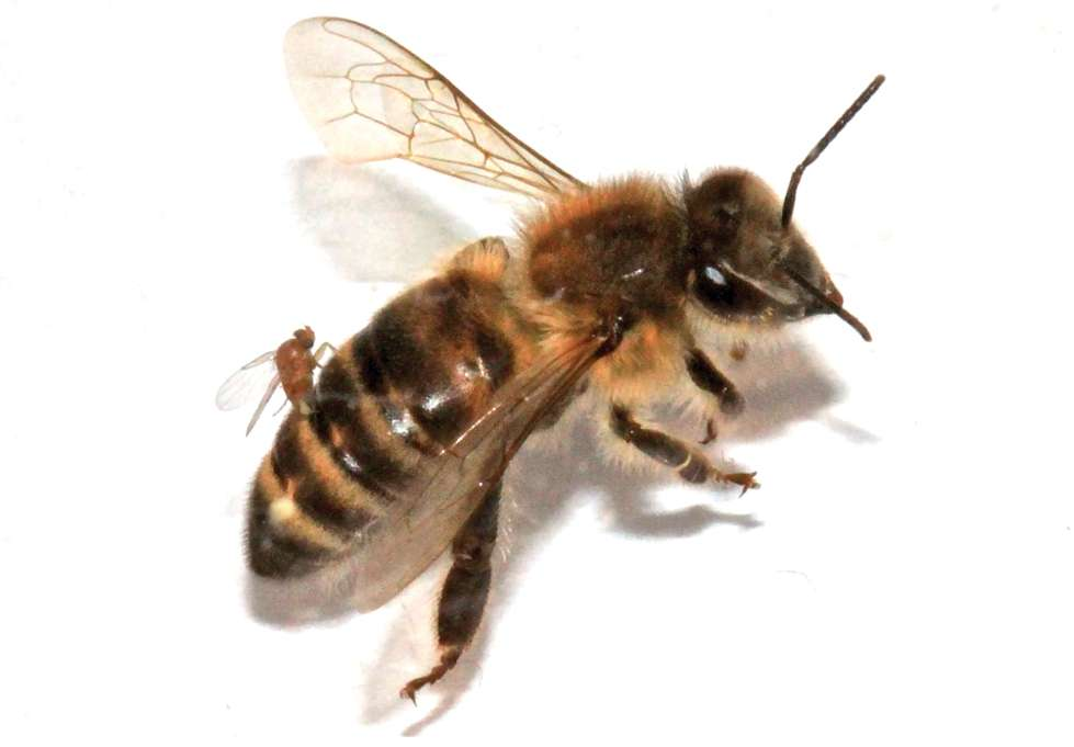 Une abeille ouvrière vit normalement de cinq à six semaines. © Core et al. 2012, Plos One
