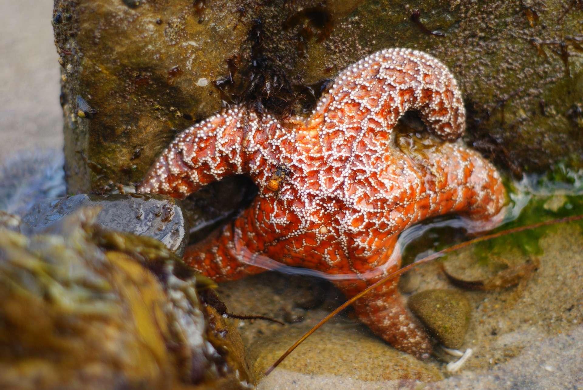 Les étoiles de mer sont victimes d'une mortalité massive due à la prolifération de matière organique dans l'océan. © emilycat27, Pixabay