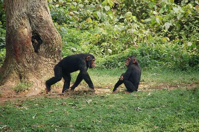 Les chimpanzés sont les primates les plus proches de l'Homme. Ces deux-ci ont été photographiés en Guinée équatoriale. © The Dilly Lama, Flickr, cc by 2.0