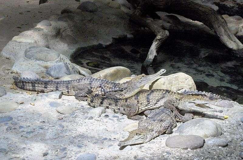 Photo d'un crocodile de Johnston. © Qwertzy2, GNU Free Documentation License, Version 1.2
