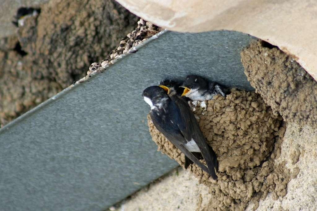 Les jeunes oisillons peuvent apprendre et composer leurs chants en écoutant les sons issus de leur environnement, en mixant et reproduisant à leur manière les informations sonores perçues. © Phovoir