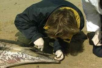 Ce début d'année a connu un nombre d'échouages de cétacés sur le littoral atlantique dix fois supérieur à la normale de saison(Crédits : CRMM)