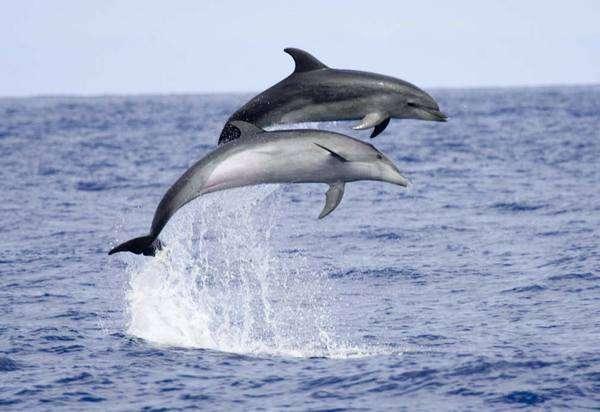Des dauphins sortant hors de l'eau. Crédit : Ministère de l'écologie du développement et de l'aménagement durables