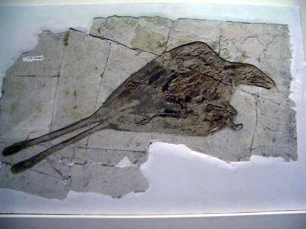 Confuciusornis sanctus est un oiseau qui vivait au Crétacé, soit entre -140 et -110 millions d'années. Il possède un bec sans dents et se rapproche de l'archéoptéryx. © DR, GNU 1.2