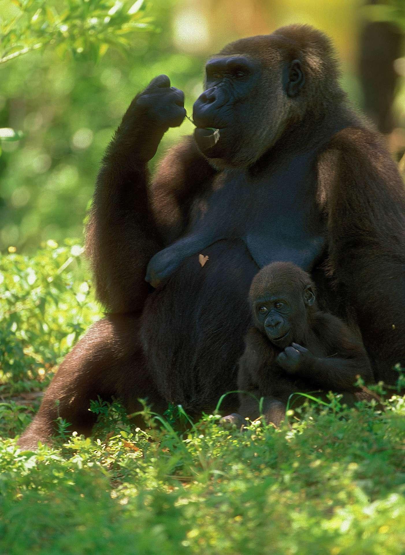 L'Ouganda et deux de ses voisins, le Rwanda et la République démocratique du Congo (RDC), sont les seuls pays où vivent aujourd'hui ces gorilles de montagne. © Ferenc Cegledi