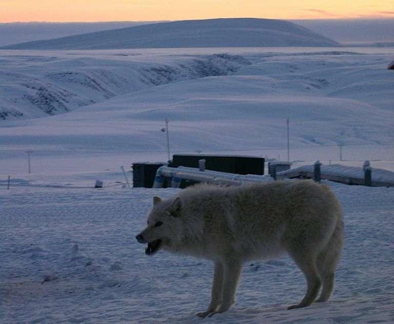 Un loup près de la base militaire permanente d'Alert, dans l'Arctique canadien, en 2004, à moins de 900 km du pôle Nord. © Stéphanie Pertuiset - AFP/Archives