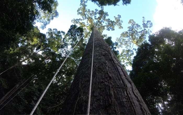 Le grimpeur malaisien Unding Jami a escaladé le plus grand arbre tropical du monde, baptisé Menara, dans la forêt de Bornéo. © Unding Jami