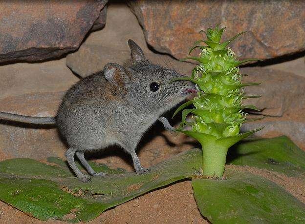 La longue langue de la musaraigne à trompe (Elephantulus edwardii) est bien commode pour récupérer le nectar des fleurs de Whiteheadia bifolia, laquelle utilise le museau de ce Mammifère pour transporter son pollen. © Wester, Naturwissenschaften