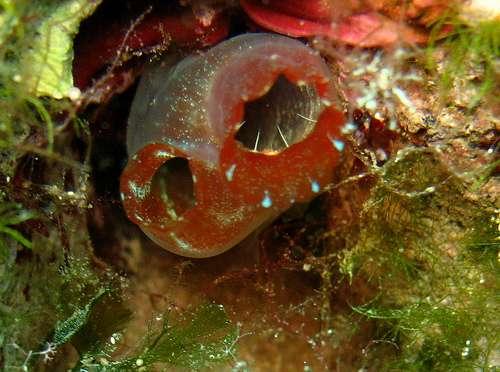 Cette ascidie est un urochordé qui a perdu sa chorde au cours du développement embryologique. © sarsifa CC by-nc-sa 2.0