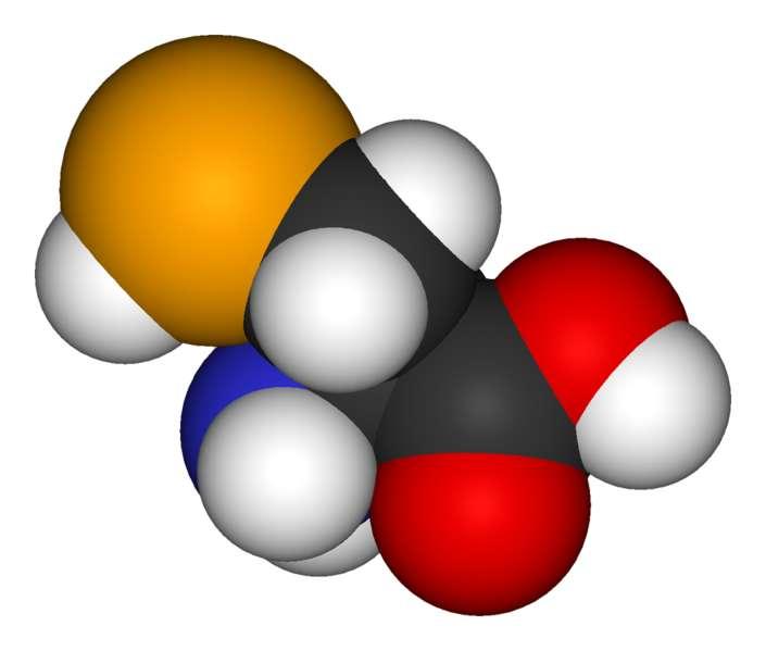 La sélénocystéine est un acide aminé rare qui s'incorpore au niveau d'un codon stop. © Domaine public