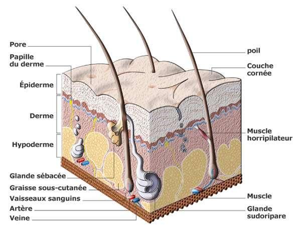 Les glandes sudoripares sont très nombreuses et permettent le dégagement de chaleur par la peau. © invision.me.free.fr