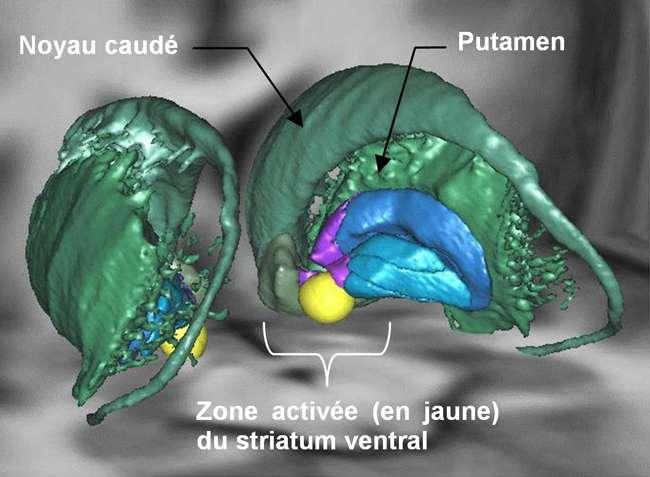 Cette représentation en 3D illustre les différents composants du système motivationnel (le striatum ventral). Cette structure se situe sous le cortex et est connectée principalement avec certaines régions du système limbique telles que l'amygdale ou l'hippocampe. © M. Pessiglione, Inserm