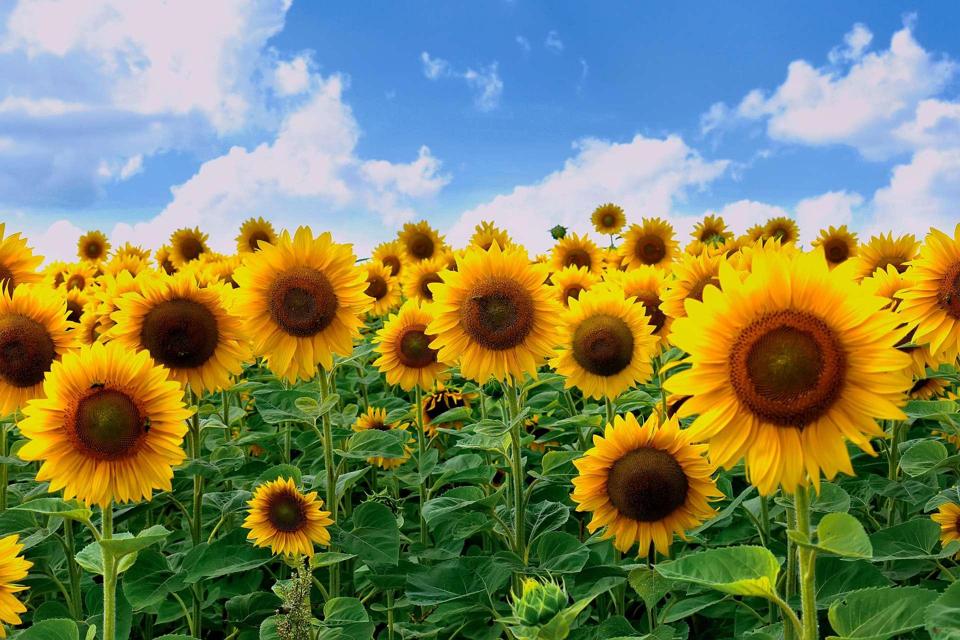 Les mini-tournesols orientables se plient pour suivre la direction du soleil. © adamchuk_leo, Adobe Stock