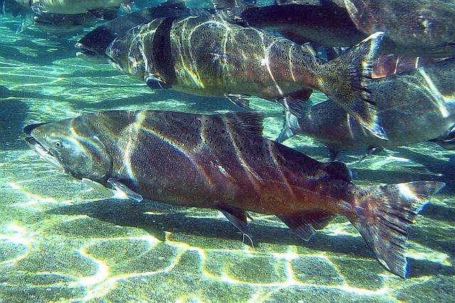 Le terme « saumon du Pacifique » rassemble cinq espèces du genre Oncorhynchus : les saumons rose, rouge, quinnat ou royal (en photo), kéta et coho. Ils seraient de plus en plus pêchés en mer de Béring, ce qui trahit leur migration vers le nord. © Pacific Northwest National Laboratory