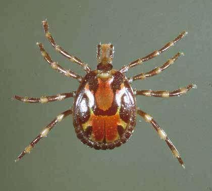 Attaque de Rhipicephalus appendiculatus (Zambie). Dans l'hémisphère Sud, quelque 870 espèces de tiques sont potentiellement porteuses de pathogénies différentes. Et un nombre important de variétés peut se rencontrer dans une même région.
