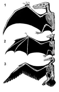 Les ailes homologues du ptérosaure (1), de la chauve-souris (2) et de l'oiseau (3), sont le fruit d'une évolution convergente. © John Romanes, domaine public