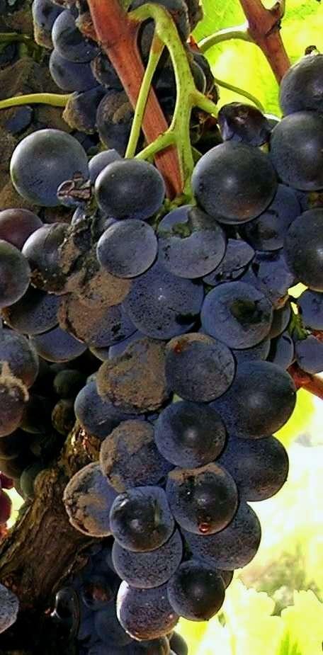 Les grappes de raisin sont contaminées par le champignon Botrytis cinerea, mais les pesticides utilisés pour lutter contre ce parasite se retrouvent aussi bien dans l'environnement que chez l'Homme. D'après l'enquête Apache, les salariés viticoles ont tous des traces de molécules cancérigènes et de perturbateurs endocriniens dans leurs cheveux. © Yelkrokoyade, cc by sa 3.0