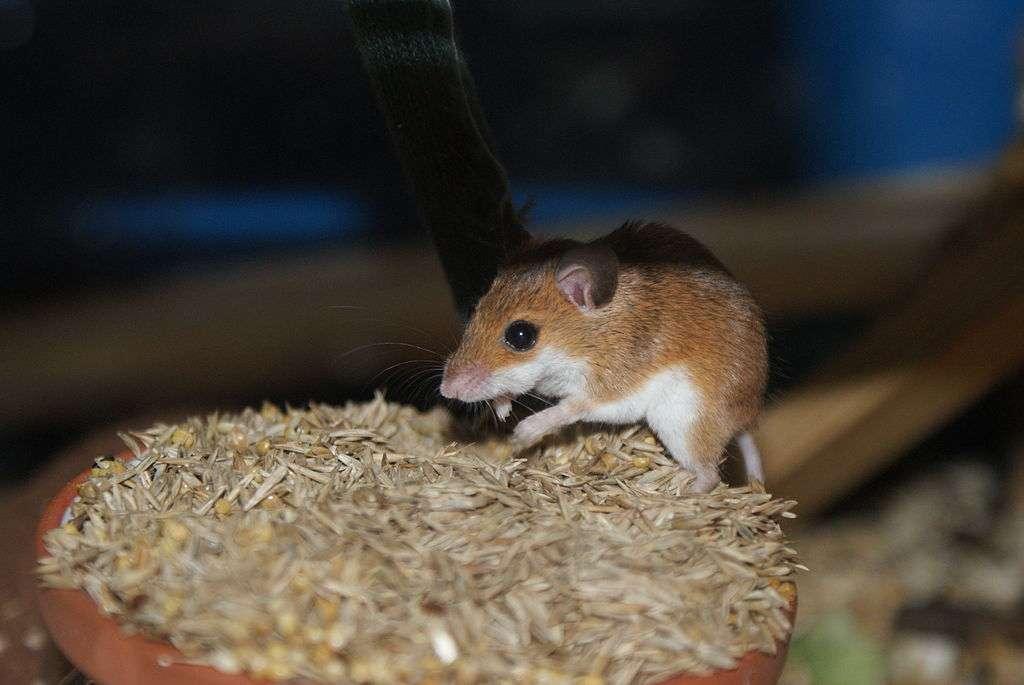 Les souris femelles de l'espèce Mus minutoides peuvent présenter trois caryotypes différents, XX, X*X et X*Y. En apparence, absolument rien ne distingue ces trois types de souris, mais leurs capacités reproductives sont différentes. © AleXXw, Wikimedia Commons, DP