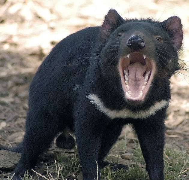 Le diable de Tasmanie est également connu sous le nom de Taz, par le dessin animé de la Warner Bros © Wayne McLean, Wikipédia, cc by sa 2.5
