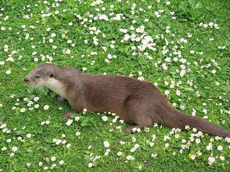 Photo d'une loutre d'Europe. © Factumquintus, GNU FDL Version 1.2