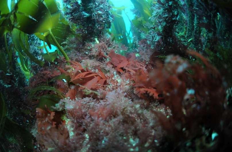 Algues rouges (Plocamium spp. au premier plan et Palmaria palmata en arrière plan) en formation herbacée sous les forêts de laminaires. © E. Feunteun, MNHN