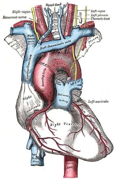L'artère pulmonaire permet au sang de se réoxygéner. Sur ce schéma, elle apparaît en bleu, au centre. © Wikipedia DP