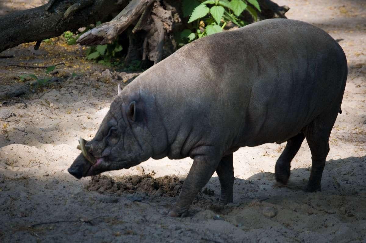On distingue nettement la peau ridée et les défenses caractéristiques de ce babiroussa. © Sebastian Niedlich, Flickr, cc by nc sa 2.0