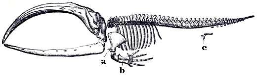 Squelette de baleine. © Meyers Konversionlexikon 1888, domaine publique