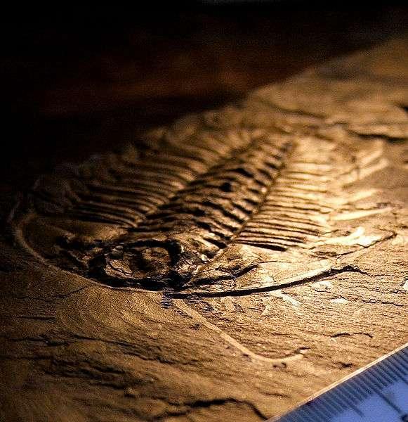 Trilobite trouvé dans les schistes de Burgess. Cette classe disparue d'arthropode serait apparue lors de l'explosion cambrienne. © Smith609, Wikimedia common, CC by-2.5