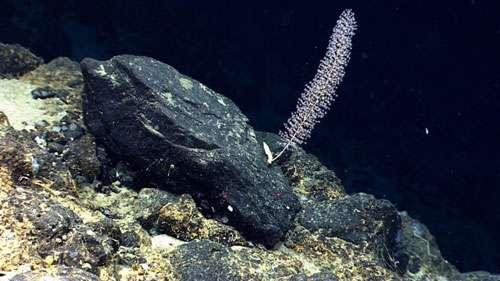Une colonie de Chrysogorgia sp. observée in situ avec le robot télé-opéré Deep Discoverer. Cette photo a été prise à 2.542 mètres de profondeur sur le mont sous-marin Physalia, en Atlantique nord-ouest. © NOAA Okeanos Explorer Program, Our Deepwater Backyard : Exploring Atlantic Canyons and Seamounts 2014